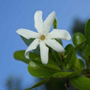 Tahiti Moorea Flower Dew Drops