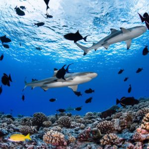 Tahiti Scuba Diving Reef Sharks