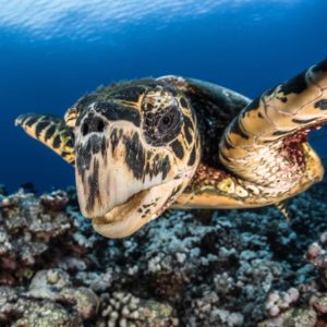 Tahiti Scuba Diving Sea Turtle Wildlife