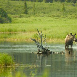 Alaska Luxury Vacation Denali Highway Moose River Grass