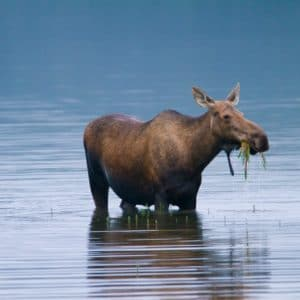 Alaska Luxury Vacation Denali National Park Wildlife Moose