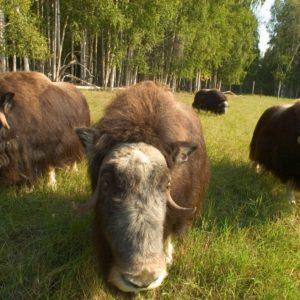 Alaska Luxury Vacation Fairbanks Musk Ox Group