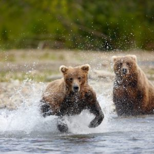 Alaska Luxury Vacation Katmai National Park Bears Playing In Water
