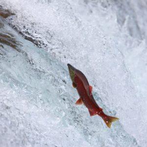 Alaska Luxury Vacation Katmai National Park Salmon Run Jumping