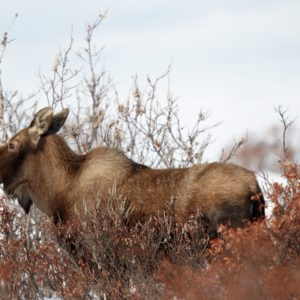 Alaska Luxury Vacation Nome Moose