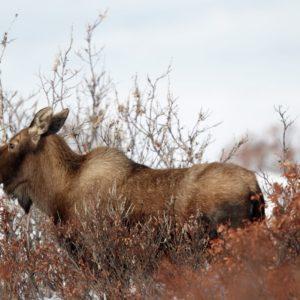 Alaska Luxury Vacation Nome Moose