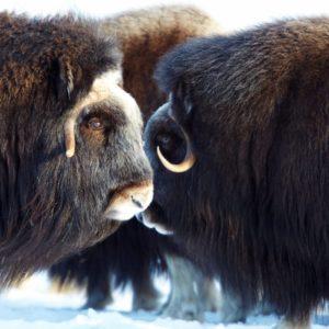 Alaska Luxury Vacation Nome Musk Ox