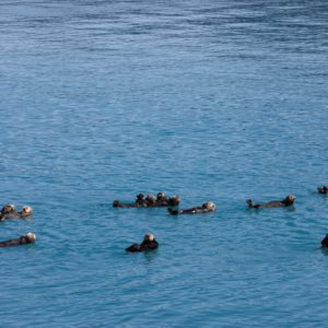 Alaska Luxury Vacation Prince William Sound Otters Swimming