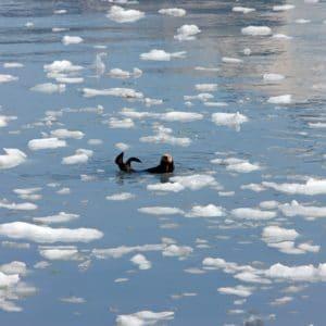 Alaska Luxury Vacation Prince William Sound Sea Otter Floating Ice