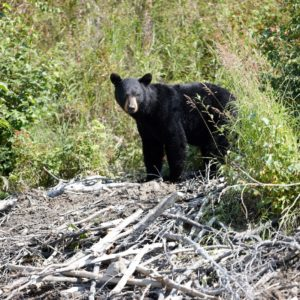 Alaska Luxury Vacation Redoubt Bay Black Bear
