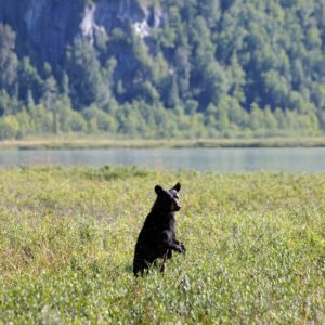 Alaska Luxury Vacation Redoubt Bay Black Bear Standing