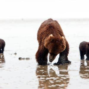 Alaska Luxury Vacation Silver Salmon Creek Lodge Bear And Cubs