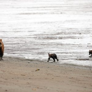 Alaska Luxury Vacation Silver Salmon Creek Lodge Bear And Two Cubs