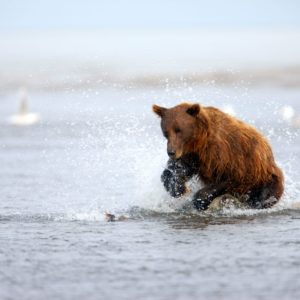 Alaska Luxury Vacation Silver Salmon Creek Lodge Bear Playing In Water