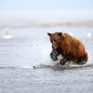 Alaska Luxury Vacation Silver Salmon Creek Lodge Bear Playing In Water
