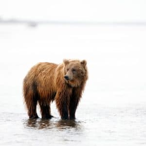 Alaska Luxury Vacation Silver Salmon Creek Lodge Bear Watching