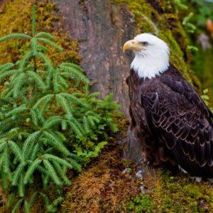 Alaska Luxury Vacation Wrangell Bald Eagle
