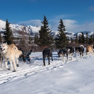 Dogs Sled Team Dogsled Teamwork Winter Snow Alaskan Luxury Vacation