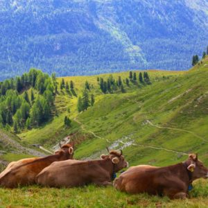 Europe Luxury Switzerland Vacation Cow Swiss Alps Switzerland Nature