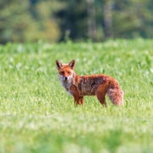 Europe Luxury Switzerland Vacation Fuchs Red Fox Little Fox Red Hair Meadow