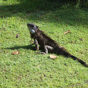 Iguana Costa Rica Reptile Central America Dragon