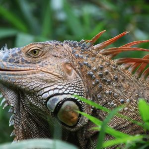 Iguana Reptile Costa Rica Wildlife