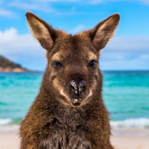 Kangaroo Wineglass Bay Beach Freycinet Tas Luxury Australia Vacation