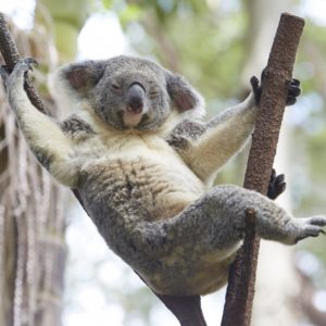 Koala Gold Coast Qld Hanging Eucalyptus Luxury Australia Vacation