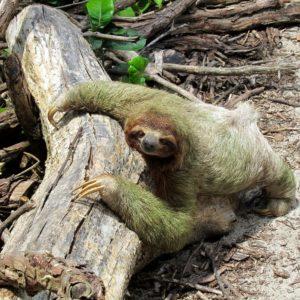Lazy Costa Rica Nature Fauna