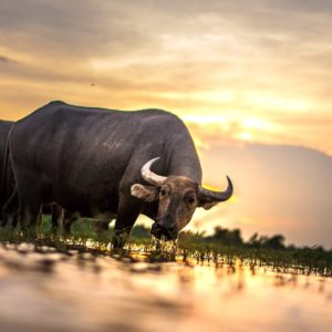 Luxury Thailand Vacation Buffalo Agriculture Animals Asia
