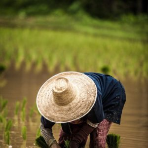 Luxury Thailand Vacation Chiang Mai Thailand Rice Planting