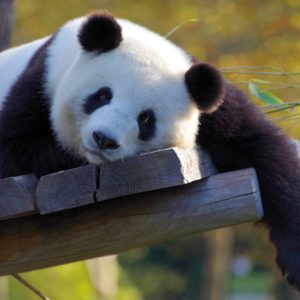 Luxury Vacation China Asia Panda China Bamboo Zoo Bear Endangered
