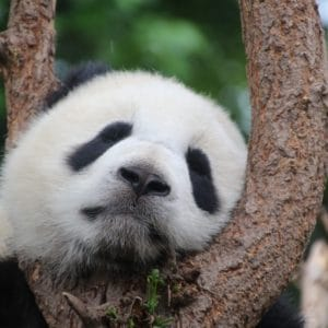Luxury Vacation China Asia Panda Panda Bear Sleep Rest Relax China Mammal