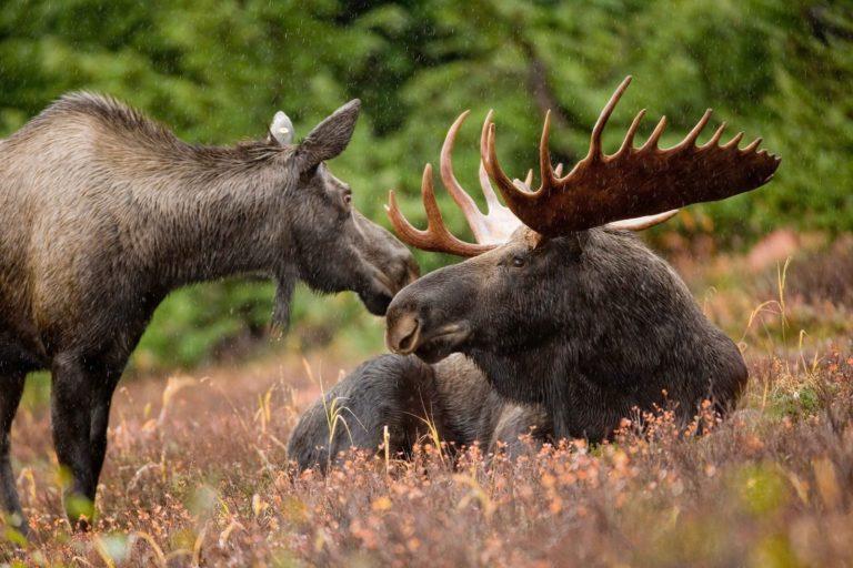 Moose Bull Cow Female Antlers Male Wildlife Alaskan Luxury Vacation