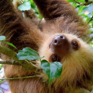 Sloth Costa Rica Puerto Viejo Rainforest Travel