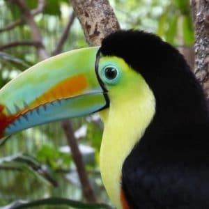 Toucan Central America Costa Rica Colorful